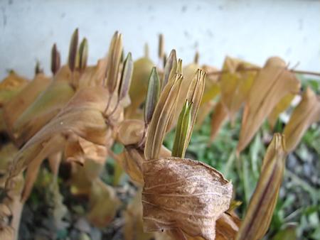 ホトトギスの種の収穫