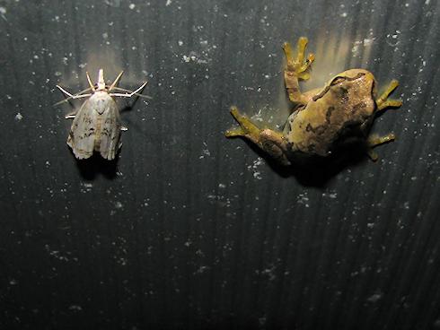 蛾が友達のカエル