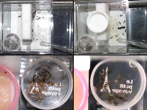 乾燥赤虫を巣に運ぶムネアカオオアリ