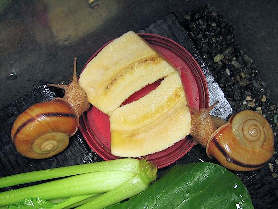 親カタツムリにも小松菜とバナナを投入
