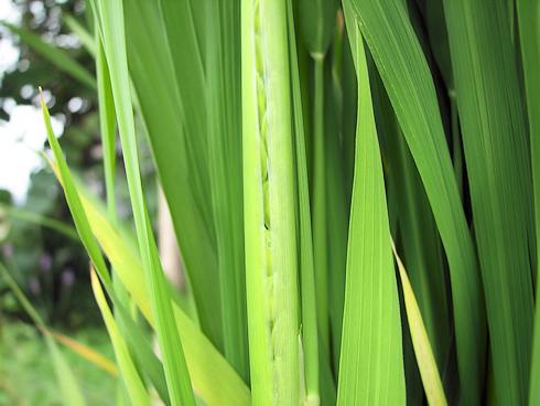 出穂開始のバケツ稲