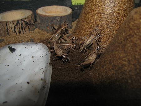 羽化するイエコオロギ