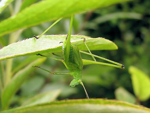 脚が長く見えるツユムシの幼虫