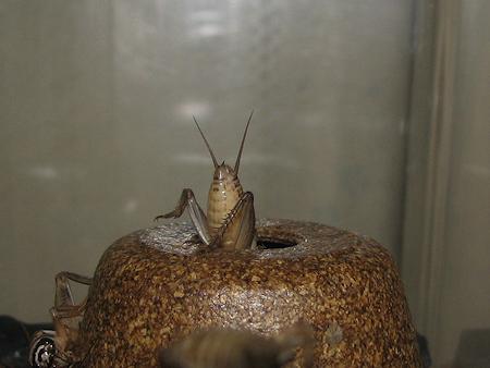 イエコオロギの脱皮の連続写真