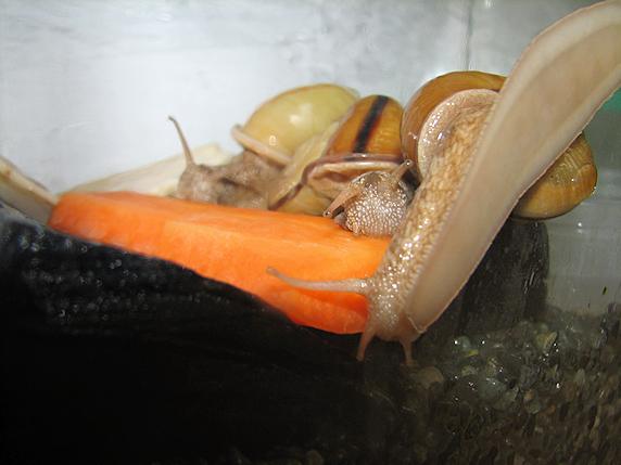 野菜高騰カタツムリ