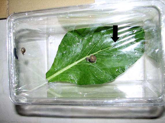 カタツムリと幼虫を同居