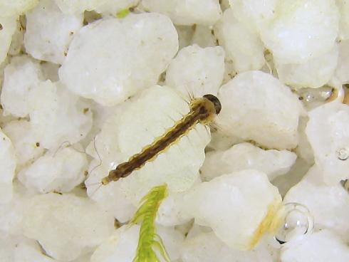 蚊の幼虫、ボウフラ