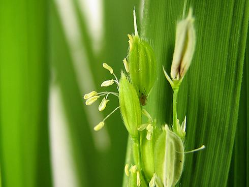 バケツ稲の開花