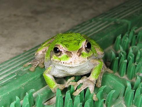 慣れの表情があるカエル