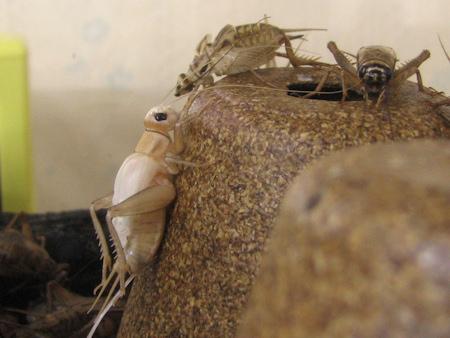 イエコオロギの羽化の連続写真