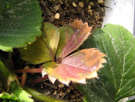 イチゴの苗の葉に異常発生