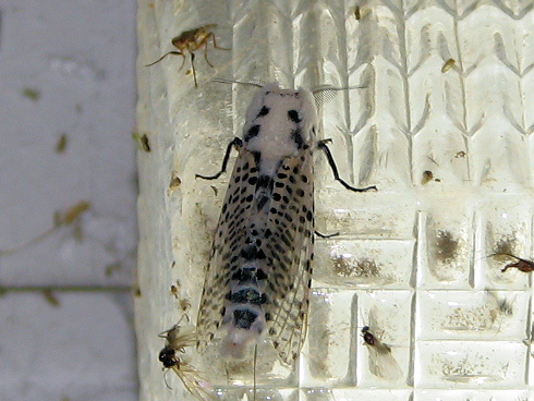 セミのようなゴマフボクトウという蛾