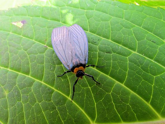 黒とオレンジ色のクビワウスグロホソバ