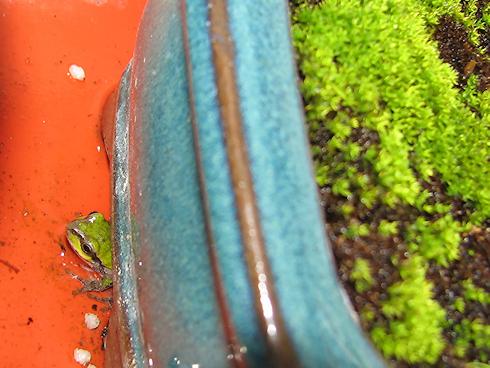 苔鉢の下に住むカエル