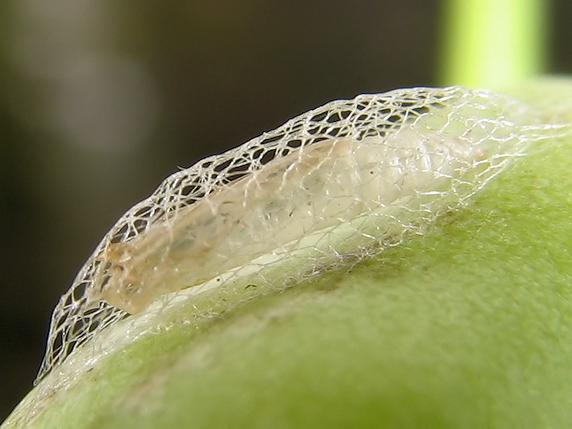 葉大根に種ができた