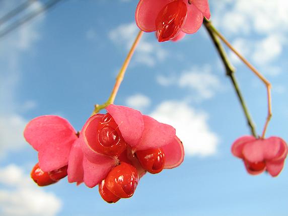 空の青とマユミの紅