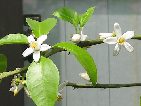 一才柚子の花開く