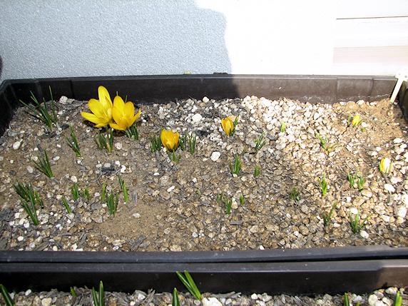 むんずと芽を出すクロッカス