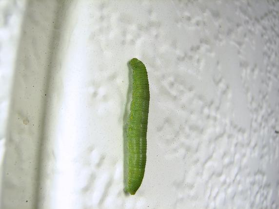 自然界の幼虫も寒そうです
