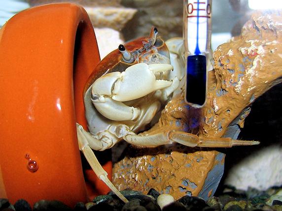 土管に入るサワガニ