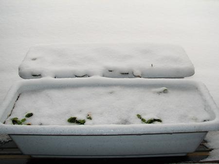 雪に埋もれるイチゴの苗