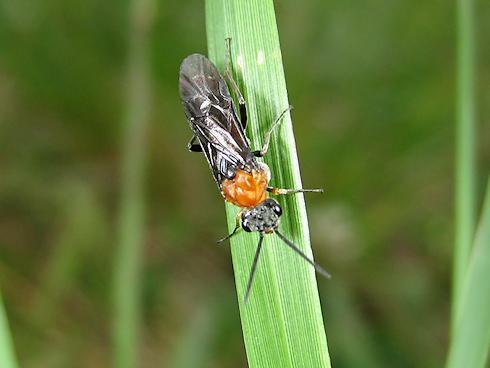セグロカブラハバチの幼虫