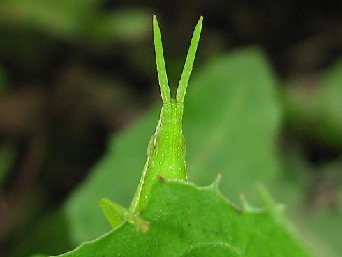 もじもじするオンブバッタの幼虫