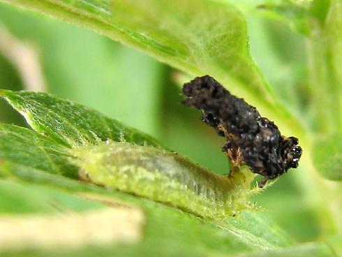 今年も登場ヒメジンガサハムシの幼虫