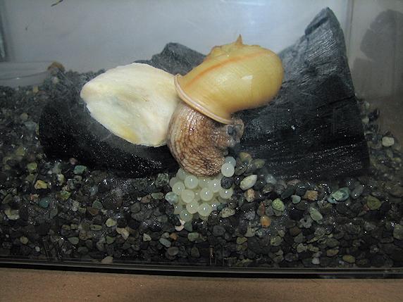 カタツムリが産卵!