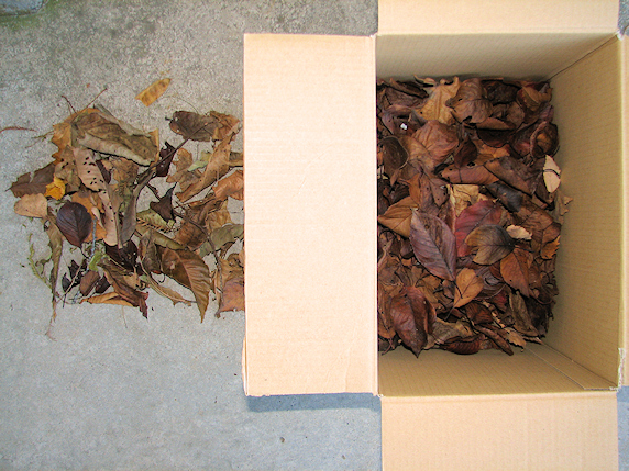 カタツムリ冬眠用の枯れ葉採集