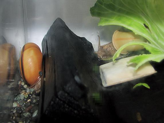 交尾相手も産卵準備開始