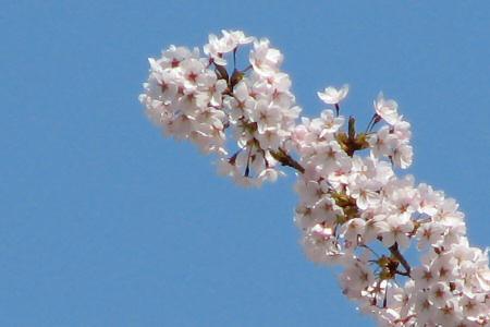 写真館-桜満開