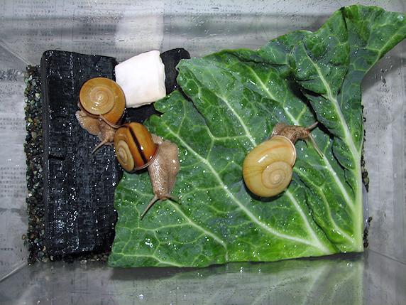 今年の産卵組のカタツムリ