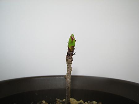 芽吹くサクランボ