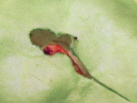 キャベツを食べるミルワーム