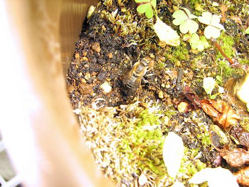 ハキリバチが鉢に巣作り!(動画あり)