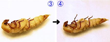 ゴミムシダマシの羽化の連続写真