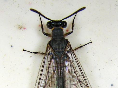 アリジゴクの成虫のウスバカゲロウ