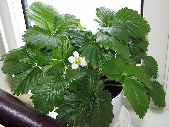 ワイルドストロベリー開花