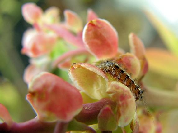 マイマイガの1齢幼虫飛来
