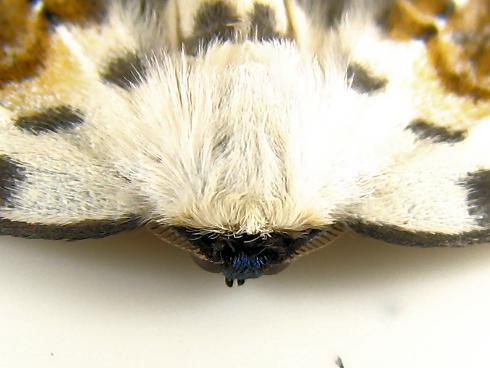 マダラカギバというきれいな蛾