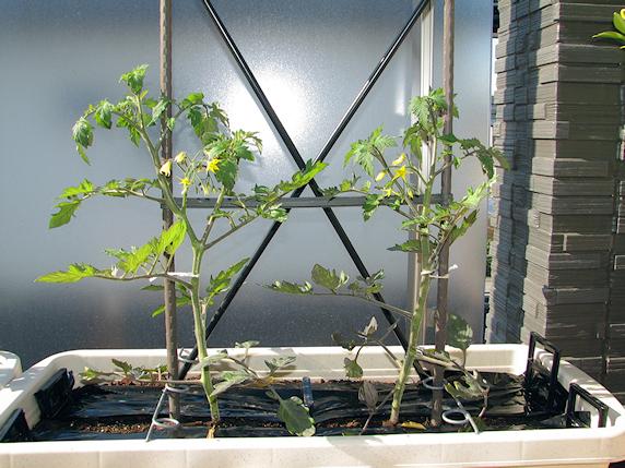ミニトマトが次々に開花