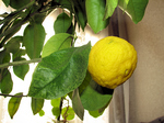一才柚子が豊作