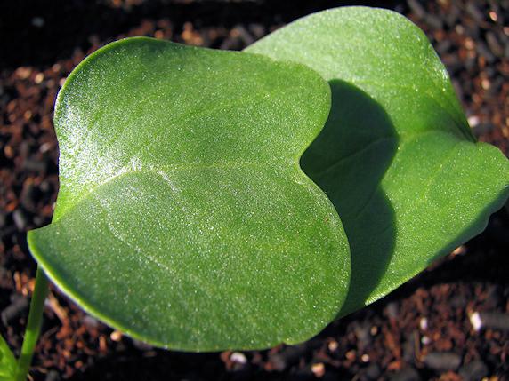 本葉が伸びる葉大根