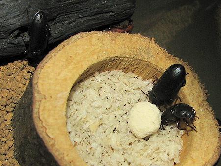 エビオスを食べるゴミムシダマシ