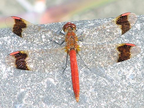 とんぼ・トンボ・蜻蛉