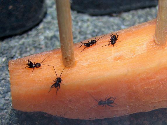 ニンジンを食べるエンマコオロギの幼虫