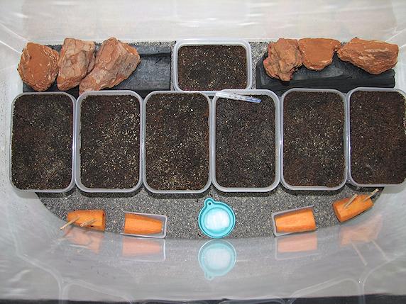コオロギの大量孵化で産卵床を移動