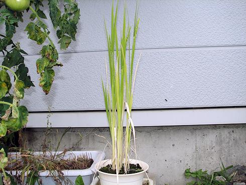 鉢稲が出穂