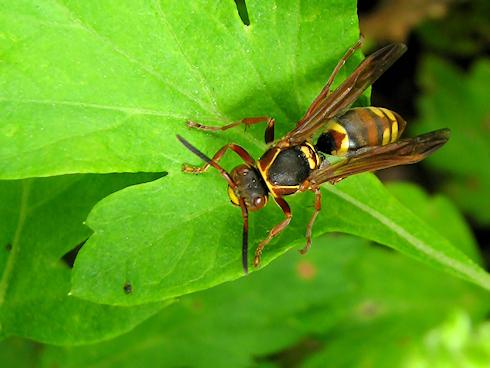 獲物を探すコアシナガバチ